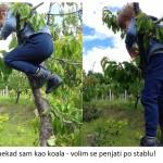 ponekad sam baš kao kaola - volim se penjati po stablu